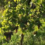 Mitte August beginnen die  Trauben langsam Farbe zu bekennen