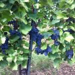 Ein 'Rudel' Blaufränkisch Trauben, die botanisch eigentlich Rispen sind...