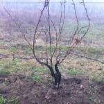 Winterszeit: zwei Rebstöcke, dicht aneinander gepflanzt, warten auf den Rebschnitt